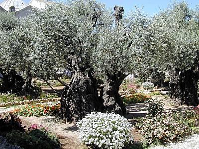 Gethsemane,_olivier_tb_n051601.jpg